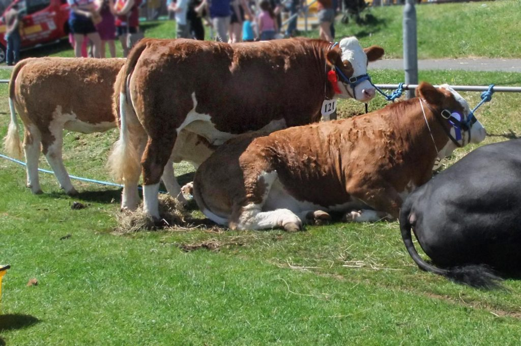 Cows at country show - TB Hub