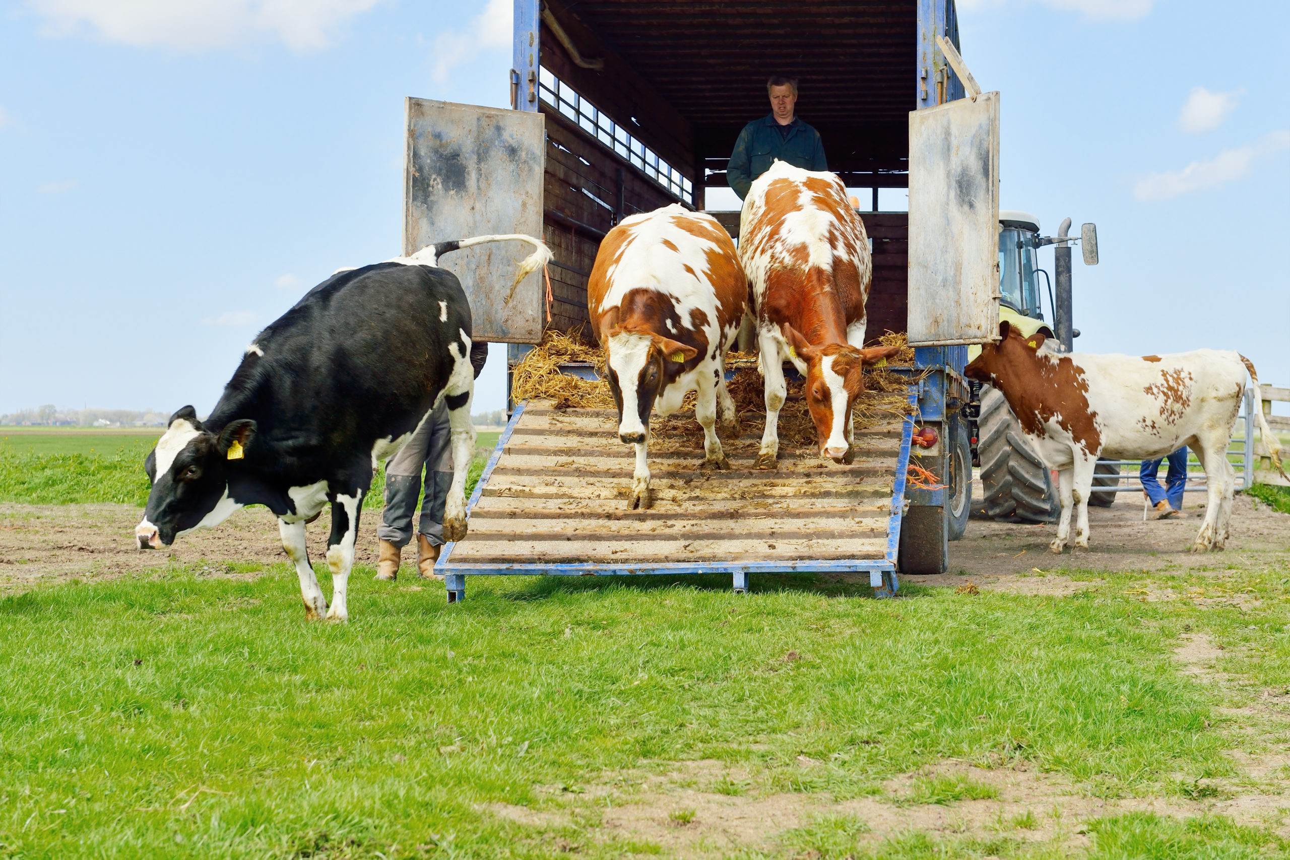 Cows being transported - TB Hub