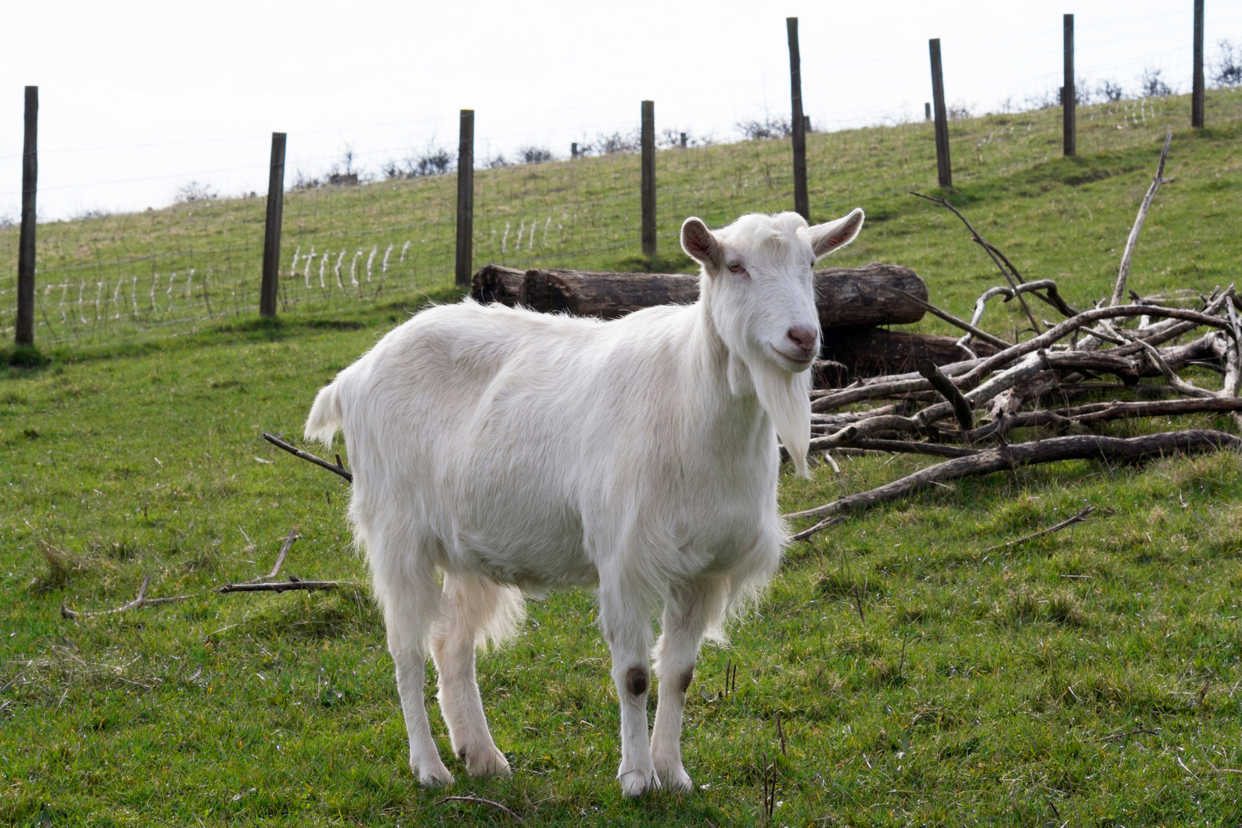White goat in a field - Bovine TB
