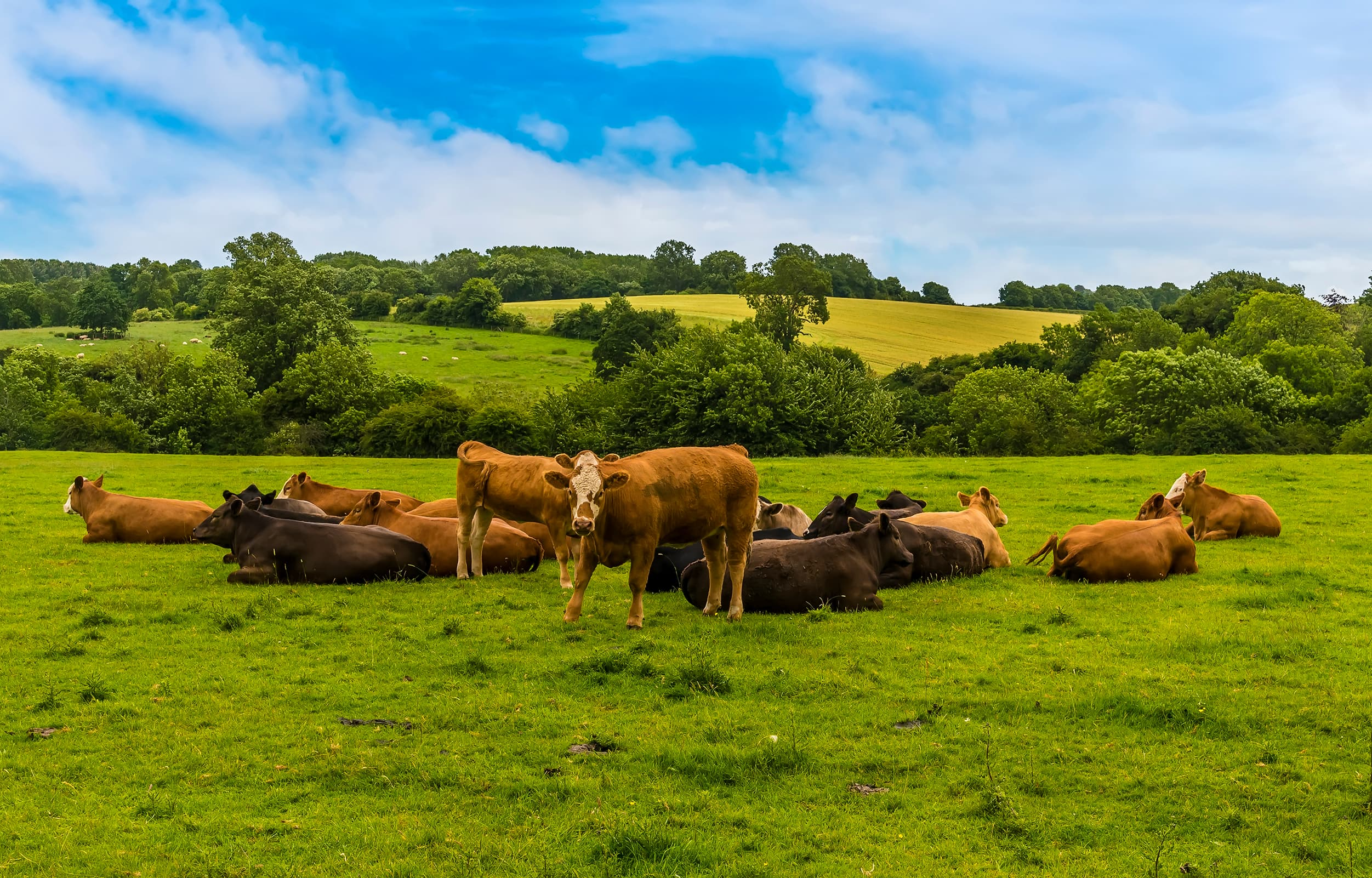 Herd of cows in the summertime - Bovine TB